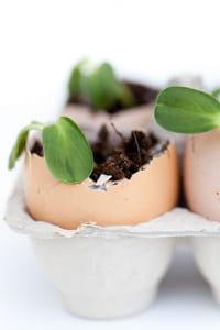Faire pousser des plantules