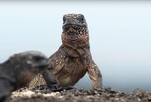 Planète animale: iguanes vs serpents, la course poursuite dantesque [VIDEO]